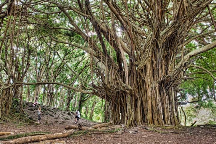 Banyan tree holding a lot of sadness