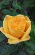 Summers first rose