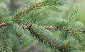 sitka spruce.2