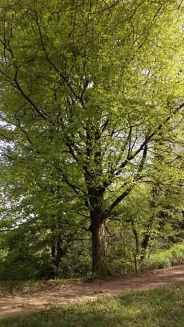 Spring river beech