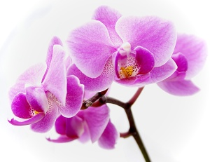 One or our orchid remedies it made by a beautiful pink orchid like this