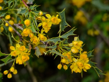 Desert barberry