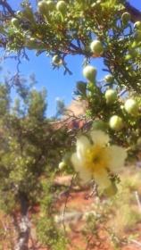wild mountain rose