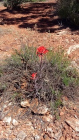 Indian Paintbrush in Sedona, AZ