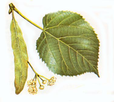 Linden tree identification