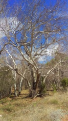 Arizona sycamore
