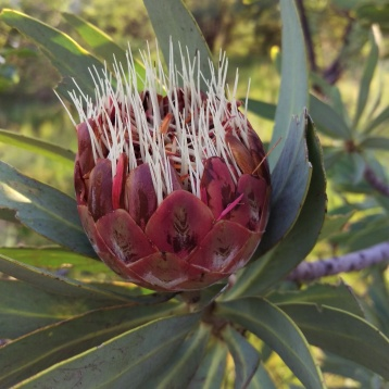 Protea about to bloom