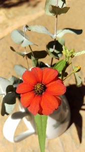Zinnia peruviana in South Africa