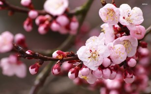 16265-cherry-blossoms-1920x1200-flower-wallpaper