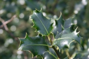 holly-leaves-400x266