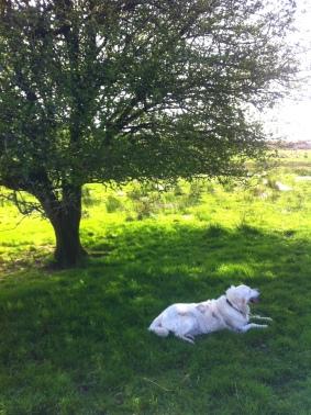 Summer Hawthorn