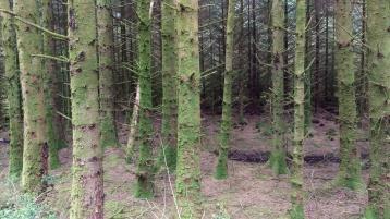 Trees facing primrose