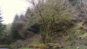 Old sleeping beech