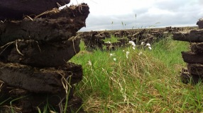 Bog cotton between the turf
