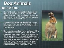 Bog+Animals+The+Irish+Hare-