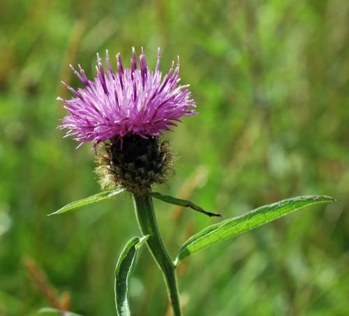 2012-8-13tgnw-black-knapweed-bryn-euryn-e1407588998517
