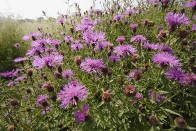 common_knapweed_large